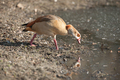 Egyptian goose reflection - PhotoDune Item for Sale