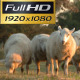 Shepherd With Sheep - VideoHive Item for Sale