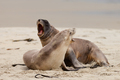 Rough courtship of male and female Hookers sealions - PhotoDune Item for Sale