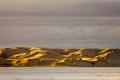 Flock of bird over dry yellow coastal grassland, NZ - PhotoDune Item for Sale