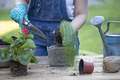 Gardener woman in gloves planting flowers. Gardening and floriculture. - PhotoDune Item for Sale