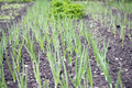 Vegetable garden in early spring. - PhotoDune Item for Sale