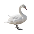 Swan isolated on white background - PhotoDune Item for Sale