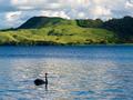 Lake Okatania NZ Black Swan Cygnus atratus - PhotoDune Item for Sale