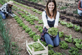 Farmer woman working at greenhouse while picking up lettuce plants - Focus on woman face - PhotoDune Item for Sale