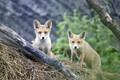 Red fox cubs - PhotoDune Item for Sale