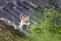 Red fox cub - PhotoDune Item for Sale