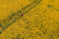 Aerial view of farmer with drone remote controller in rapeseed field using innovative technology - PhotoDune Item for Sale