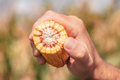 Farm worker holding corn on the cob in the field - PhotoDune Item for Sale