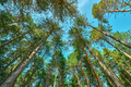 Low angle view of tall pine tree forest in autumn - PhotoDune Item for Sale