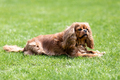 Happy cavalier spaniel in the garden - PhotoDune Item for Sale