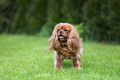 Happy dog on the green grass - PhotoDune Item for Sale