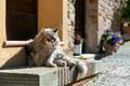 Grumpy cat - PhotoDune Item for Sale