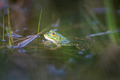 Lake frog, Pelophylax lessonae - PhotoDune Item for Sale