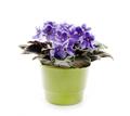 Violet in a pot - PhotoDune Item for Sale