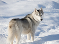 Beautiful Husky dog on a winter day - PhotoDune Item for Sale