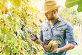 Young winemaker cutting grape twigs of biological San Giovese grape from Italy during harvest time - PhotoDune Item for Sale