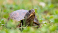Eastern Box Turtle - PhotoDune Item for Sale