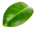 Green leaf isolated on white background - PhotoDune Item for Sale