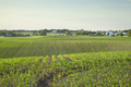Field of young corn and farms on rolling hills at sunset on a spring day in central Minnesota - PhotoDune Item for Sale