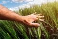 Wheat crop management, care and responsibility for cultivated crops, farmer touching cereal plant - PhotoDune Item for Sale