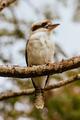 Kookaburra at Sassafrass in Australia - PhotoDune Item for Sale