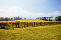 Seville East Vineyard in Australia - PhotoDune Item for Sale