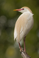 Cattle Egret - PhotoDune Item for Sale