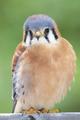 American Kestrel - PhotoDune Item for Sale