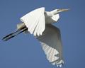 Great Egret - PhotoDune Item for Sale