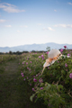 woman wicker hat in a plantation of cultivated pink rose flowers at the time of harvest - PhotoDune Item for Sale