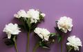 Beautiful white peonies on a dark purple background - PhotoDune Item for Sale