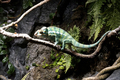 A green chameleon stand still in the aquarium just moving his eyes - PhotoDune Item for Sale