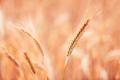 Ripe barley ears in field, selective focus - PhotoDune Item for Sale