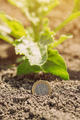 Sugar beet cultivation profit, conceptual image with euro coin and crops in field - PhotoDune Item for Sale