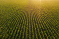 Diminishing perspective aerial view of green corn field in summer sunset - PhotoDune Item for Sale