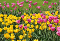 Beautiful bright colorful tulips - PhotoDune Item for Sale