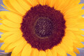 Beautiful and vibrant sunflower. Decoration and summer time. Vintage photo - PhotoDune Item for Sale