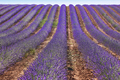 Lavender fields in summer. Guadalajara, Spain. Agriculture - PhotoDune Item for Sale