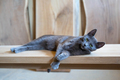 Gray cat resting on the wooden table - PhotoDune Item for Sale