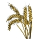 Wheat Ear Spikelet Line Art Sketch Vector - GraphicRiver Item for Sale