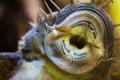 Ancistrus species longfin Bushymouth catfish on aquarium glass - PhotoDune Item for Sale