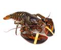 Living lobster - PhotoDune Item for Sale