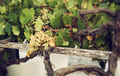 Bunch of white grapes in the vineyard. - PhotoDune Item for Sale