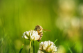 Bee collecting nectar from a flower of cloverin - PhotoDune Item for Sale