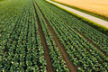 Fresh cabbage from farm field. View of green cabbages plants - PhotoDune Item for Sale