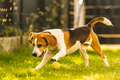 Beagle dog fun in garden outdoors run and jump with ball - PhotoDune Item for Sale