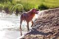 Happy wet dog - golden retriever - PhotoDune Item for Sale