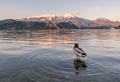 Duck at Lake Bled - PhotoDune Item for Sale