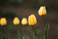 Background of Yellow tulips with cool board - PhotoDune Item for Sale